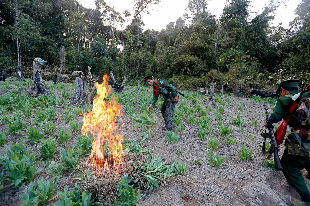 Description of . Soldiers of the Ta-ang National Liberation Army (TNLA), one of the ethnic rebel groups, destroy a poppy field in Loi Mel Main village, Man Tone Township, Northern Shan State, Myanmar on Jan. 16, 2014. Myanmar's opium production in 2013 was expected to reach 870 tons, a 26-per-cent increase year-on-year, for a 13-per-cent increase in cultivated area, the United Nations said.  EPA/NYEIN CHAN NAING