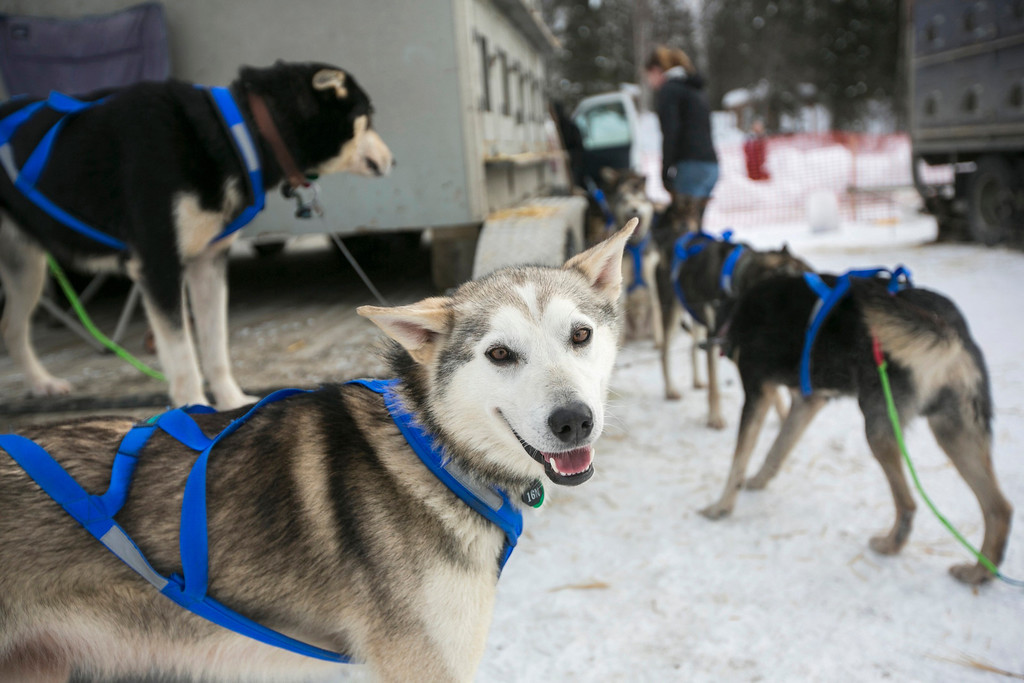 Description of . A dog belonging to Nicolas Petit's team awaits the re-start of the Iditarod dog sled race in Willow, Alaska March 3, 2013. From Willow, the race runs for almost 1000 miles as it crosses the state. REUTERS/Nathaniel Wilder