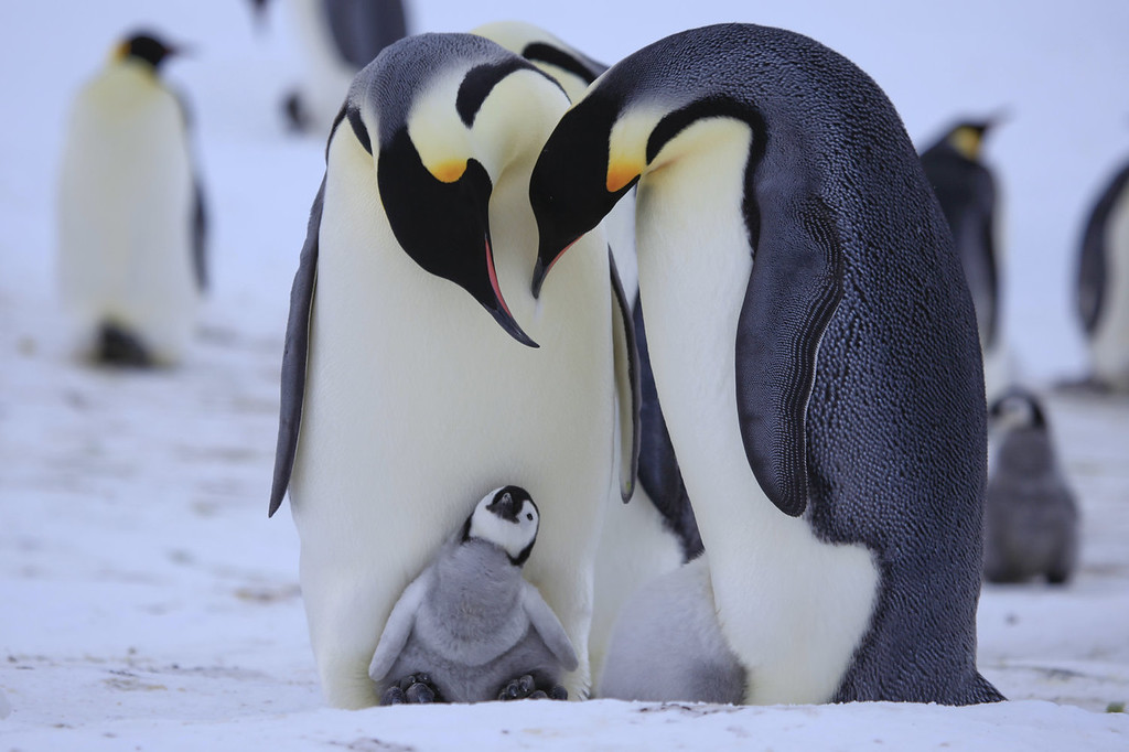 "Description of . Emperor parents care for a chick.  ""Penguins: Waddle All the Way,"" premiers Nov. 23 on Discovery. Jane Lynch narrates this two-hour special, a Discovery/BBC co-production from award-winning filmmaker John Downer. (Photo by Frederique Olivier/JDP World All Media)"