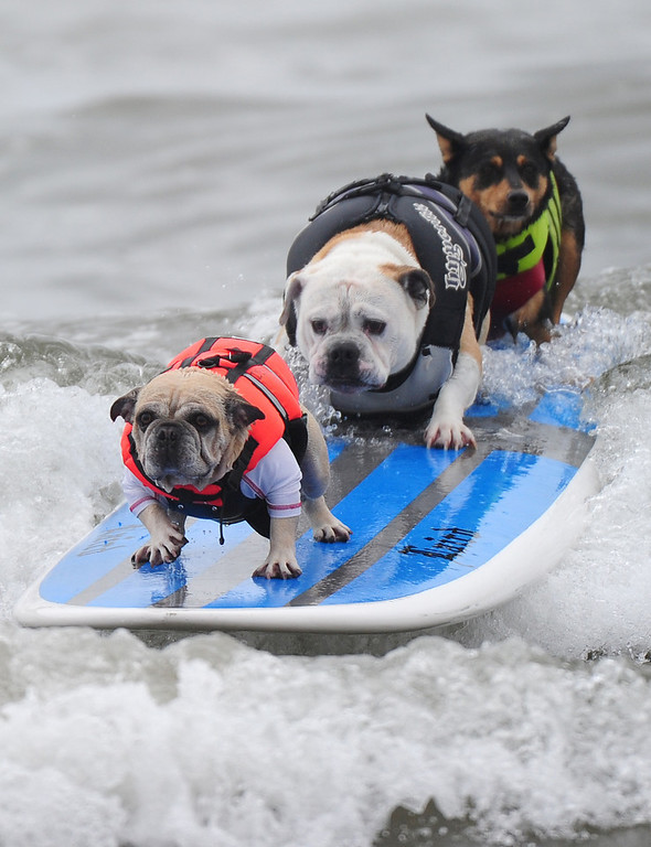 Description of . Three dogs ride on the same surfboard during the annual Surf City Surf Dog competition at Huntington Beach in California on September 25, 2011.   AFP PHOTO / ROBYN BECK