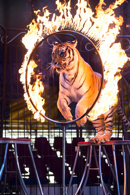 Description of . In this June 22, 2014 photo a tiger jumps through a ring of fire during a performance of the Fuentes Gasca Brothers Circus in Mexico City. Besides frequent training sessions the tigers only leave their cages for daily performances. Mexico City and six of Mexico's 32 states have now banned circus animals. Nationwide bans on circus animals have swept through Latin America recently, and Fuentes, along with other performers at his family's circus, fear a Mexican federal law is sure to follow the capital's law goes into effect. (AP Photo/Sean Havey)