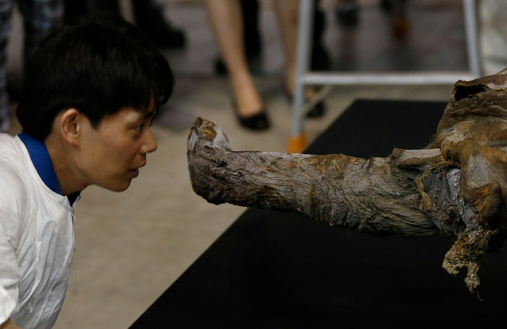 Description of . A worker looks at a 39,000-year-old female Woolly mammoth, which was found frozen in Siberia, Russia upon its arrival at an exhibition hall in Yokohama, south of Tokyo, July 9, 2013. The mammoth will be on display from July 13, 2013 till September 16, 2013.   REUTERS/Toru Hanai