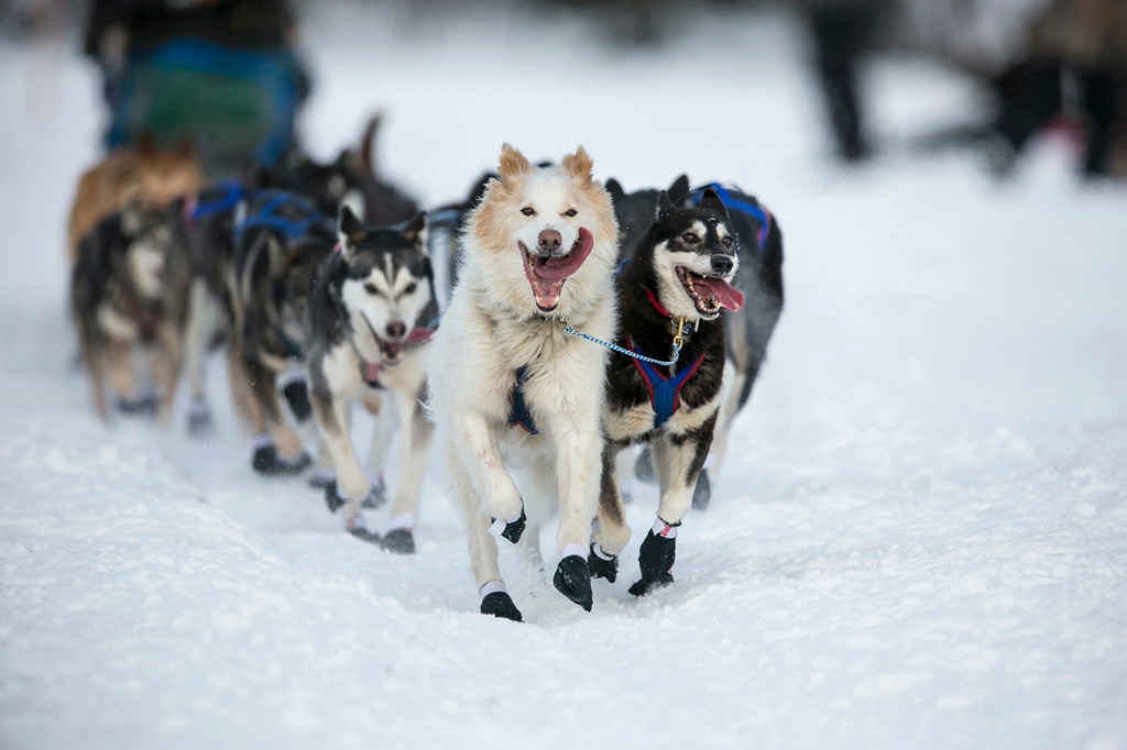 Description of . The lead dogs of Sonny Lindner charge down the trail after the re-start of the Iditarod dog sled race in Willow, Alaska March 3, 2013. From Willow, the race runs for almost 1000 miles as it crosses the state.   REUTERS/Nathaniel Wilder