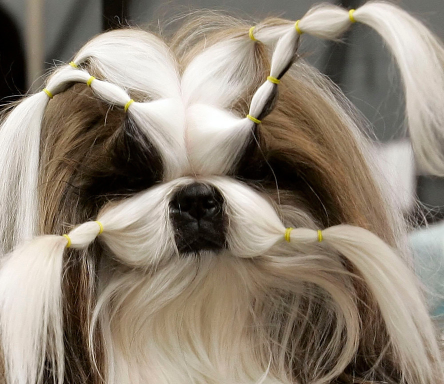 Description of . A Shih Tzu has her hair in rubber bands as she gets groomed  at the 131st Annual Westminster Kennel Club Dog Show February 12, 2007 at Madison Square Garden in New York City. 2,500 dogs are entered in the show and the event will culminate in the