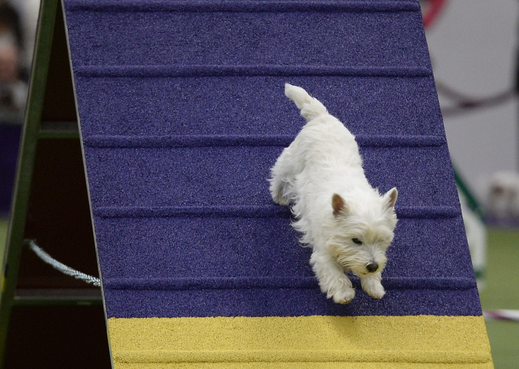 Description of . A West Highland White Terrier in the Agility Ring during the first-ever Masters Agility Championship on February 7, 2014 in New York at the 138th Annual Westminster Kennel Club Dog Show. Dogs entered in the agility trial will be on hand to demonstrate skills required to negotiate some of the challenging obstacles that they will need to negotiate.      TIMOTHY A. CLARY/AFP/Getty Images
