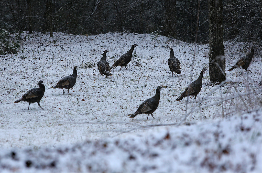 Description of . Wild turkeys graze in a snow covered field off Hwy 75 South by the Chattahoochee River on Tuesday, Feb. 11, 2014, just north of Helen, Ga. (AP Photo/Atlanta Journal-Constitution, Curtis Compton)