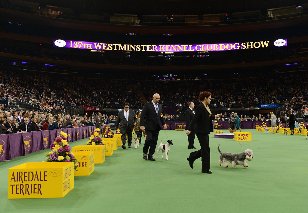 Description of . Dogs compete in the Terrier Group during the Westminster Kennel Club Dog Show February 12, 2013 at Madison Square Garden in New York.  STAN HONDA/AFP/Getty Images