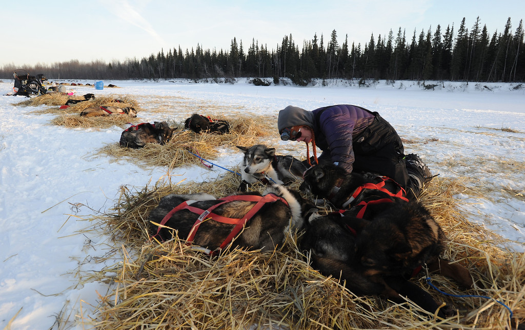 Description of . Paige Drobny of Fairbanks tends to her dog team in the Athabaskan village of Nikolai, Alaska, during the Iditarod Trail Sled Dog Race on Tuesday, March 5, 2013.  (AP Photo/Bill Roth, Anchorage Daily News)