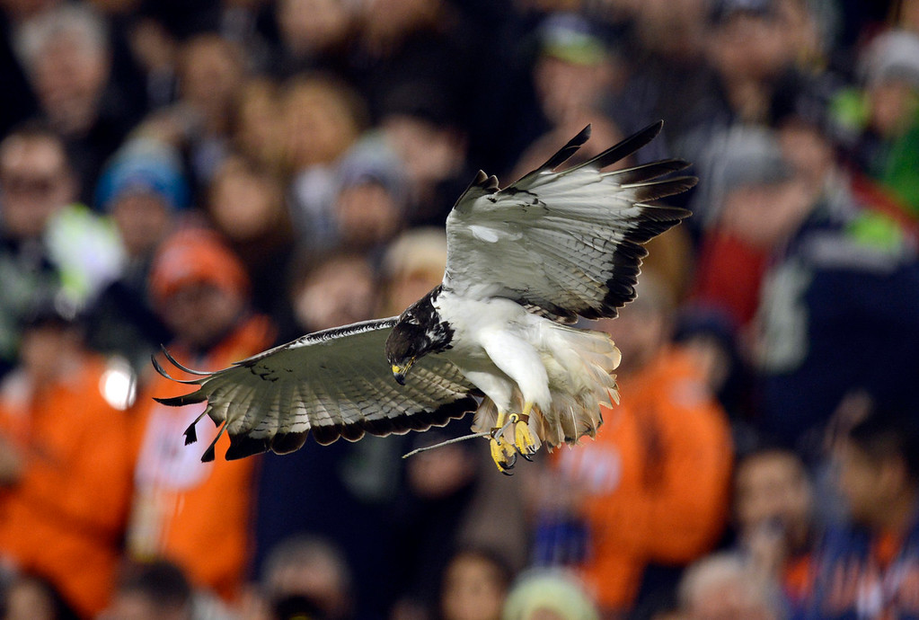 Description of . A sea hawk flies in the stadium prior to the start of the game.  The Denver Broncos vs the Seattle Seahawks in Super Bowl XLVIII at MetLife Stadium in East Rutherford, New Jersey Sunday, February 2, 2014. (Photo by AAron Ontiveroz/The Denver Post)