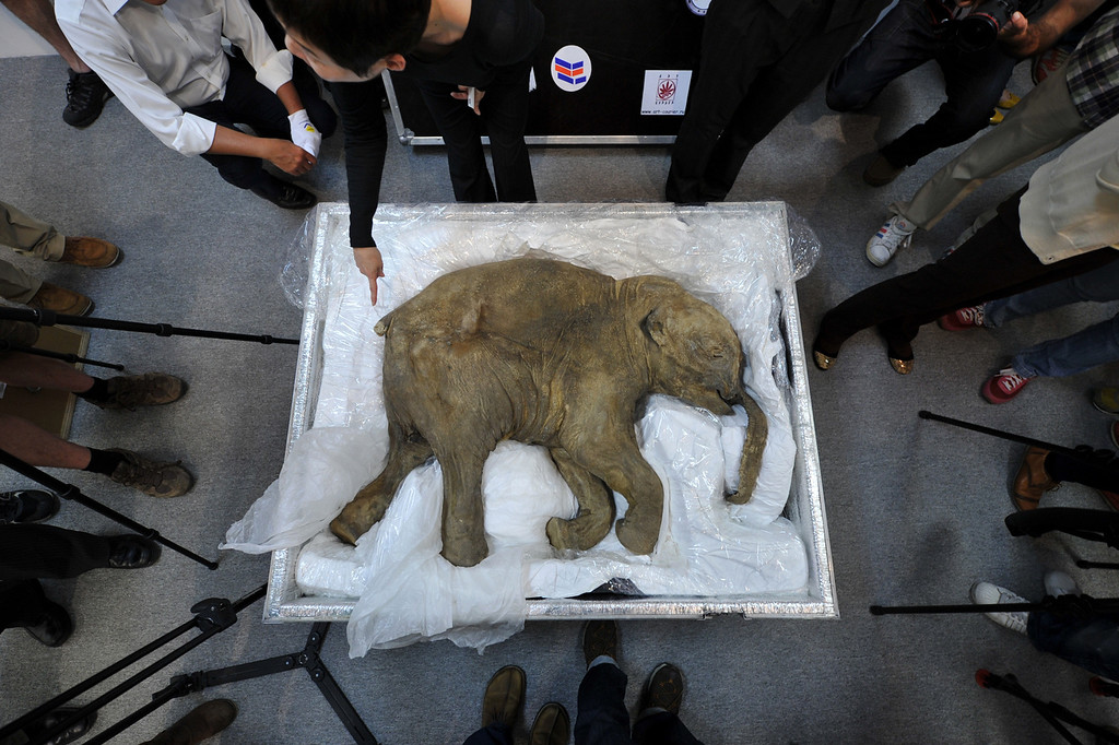 Description of . The carcass of the world's most well-preserved baby mammoth, named Lyuba, is displayed in Hong Kong on April 10, 2012.  Lyuba, whose carcass is 42 thousand years old was found by a reindeer herder in Yamal Peninsula in Russia on 2007. She will be exhibited at IFC Mall in Hong Kong on April 12, 2012. (Aaron Tam/AFP/Getty Images)