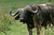A Cape Buffalo bull in Ngorongoro Crater Conservation area in Tanzania, Africa.