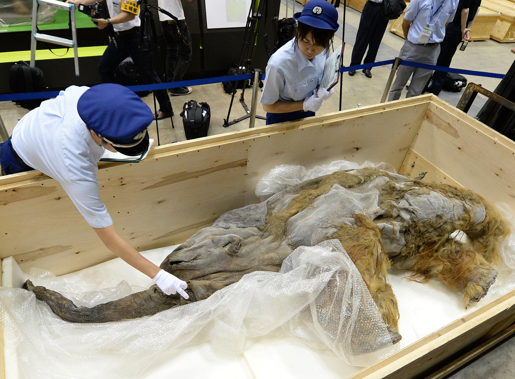 Description of . Members of Japan customs inspect a 39,000-year-old female baby woolly mammoth Yuka from Siberian permafrost upon its arrival at an exhibition hall in Yokohama, suburban Tokyo on July 9, 2013. The frozen woolly mammoth will be exhibited from July 13 until September 16. KAZUHIRO NOGI/AFP/Getty Images