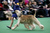 An Afghan Hound competes during the 137th Westminster Kennel Club Dog Show on February 11, 2013 in New York City. A total of 2,721 dogs from 187 breeds and varieties are to compete in the event, hailed by organizers as the second oldest sporting competition in America, after the Kentucky Derby. The Best in Show dog is to be selected at Madison Square Garden Tuesday night.  (Photo by John Moore/Getty Images)