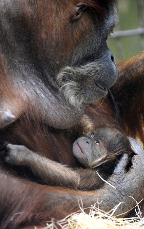 Description of . Orangutan baby Duran lies in the arms of its mother Djudi at the zoo in Dresden, eastern Germany. Duran was the fifth baby of the 36-year-old orangutan mother Djudi. (NORBERT MILLAUER/AFP/Getty Images)