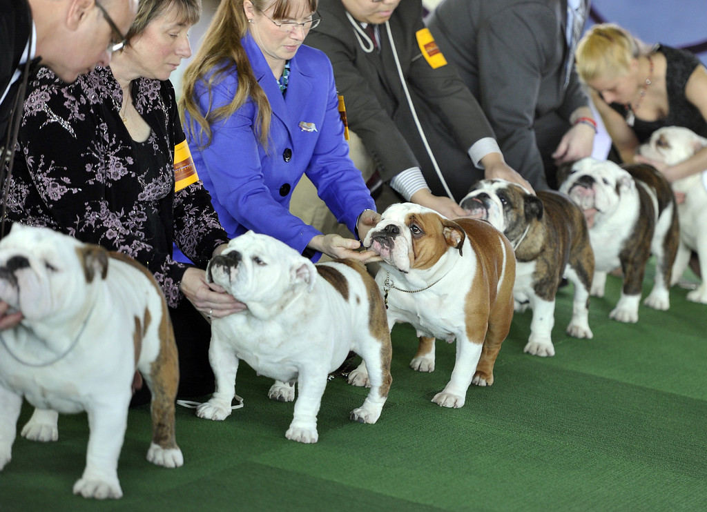 . Bulldogs in the judging ring at Pier 92 and 94 in New York City  for the first day of competition  at the 138th Annual Westminster Kennel Club Dog Show February 10, 2014. The Westminster Kennel Club Dog Show is a two-day, all-breed benched  show that takes place at both Pier 92 and 94 and at Madison Square Garden in New York City .     TIMOTHY CLARY/AFP/Getty Images