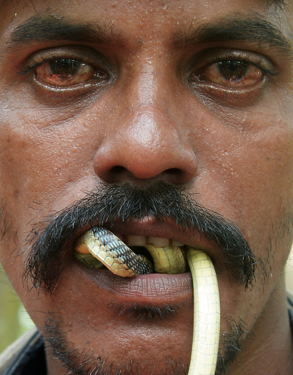 Description of . An Indian snake charmer performs with a 'gokhra' - cobra - in his mouth for passers by at a snake fair at Purba Bishnupur village, around 85 kms north of Kolkata on August 17, 2013.  Hundreds of people queued in a remote village in eastern India over the weekend to receive blessings from meters-long and potentially deadly snakes, thought to bring them good luck.  DIBYANGSHU SARKAR/AFP/Getty Images
