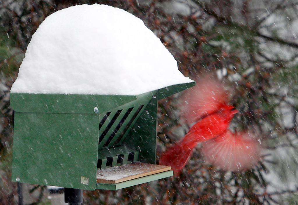 Description of . A cardinal takes flight from a snow-covered bird feeder Wednesday, Feb. 5, 2014, in Marlborough, Mass. Up to a foot of snow was predicted through the day in some parts of Massachusetts. (AP Photo/Bill Sikes)