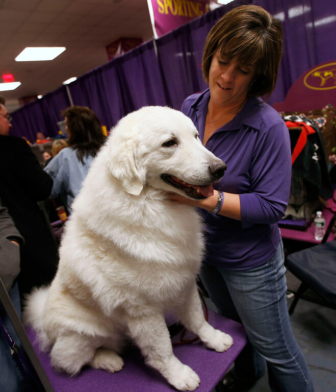 Description of . Tanner, a four-year-old Kuvasz breed from Brighton, Colorado, stands with his owner Diana Wilson in the benching area prior to judging at the 137th Westminster Kennel Club Dog Show at Madison Square Garden in New York, February 12, 2013. Tanner is the only Kuvasz entered in the Westminster Dog Show. REUTERS/Mike Segar