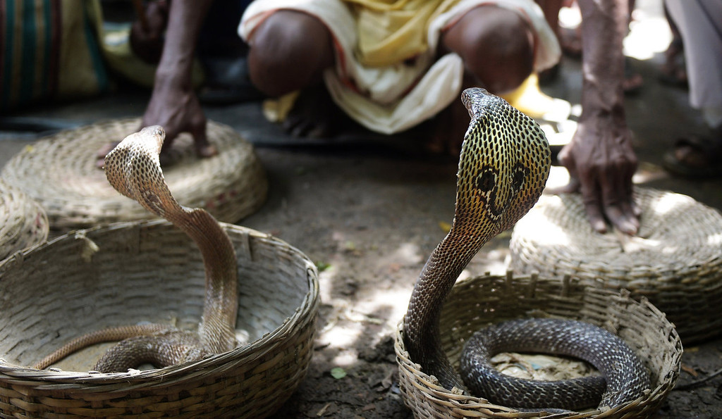 Description of . An Indian snake charmer performs with 'gokhras' - cobras - at a snake fair at Purba Bishnupur village, around 85 kms north of Kolkata on August 17, 2013. Hundreds of people queued in a remote village in eastern India over the weekend to receive blessings from meters-long and potentially deadly snakes, thought to bring them good luck.  DIBYANGSHU SARKAR/AFP/Getty Images