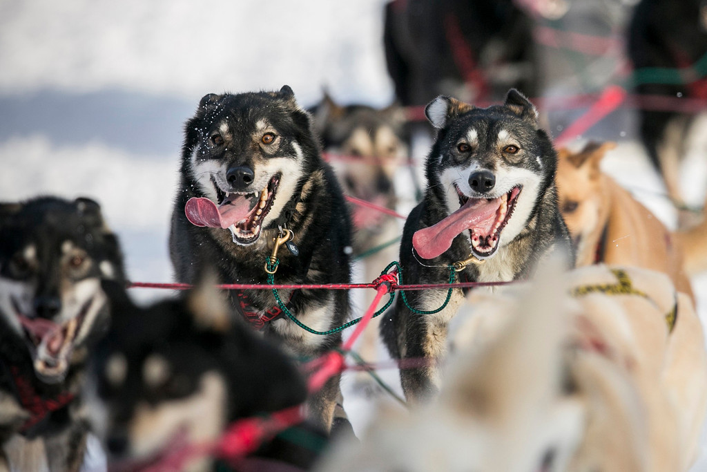 Description of . Gerald Sousa's team charges down the trail at the re-start of the Iditarod dog sled race in Willow, Alaska March 3, 2013. From Willow, the race runs for almost 1000 miles as it crosses the state. REUTERS/Nathaniel Wilder