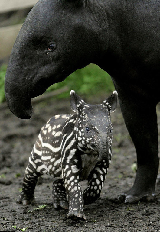 Description of . Vasan, a baby Tapir with its mother Sayang, exploring their enclosure at Edinburgh Zoo, Scotland. The birth is a special event as it is the first time a Malayan Tapir has been born at the zoo and is also the first baby for this particular adult Tapir. Tapirs are hoofed mammals and are related to rhinos and horses. (AP Photo/Andrew Milligan,PA)