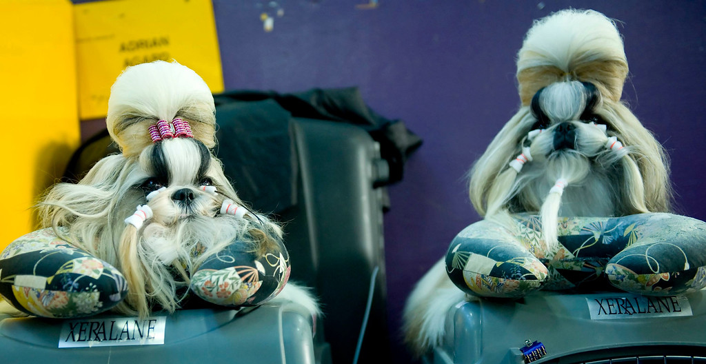Description of . Sugar (L) and Jeffrey, both Shih Tzu dogs, relax in the benching area during the first day of the 138th Westminster Kennel Club Dog Show in New York, New York, USA, 10 February 2014. The annual dog show, which features dogs from all over the United States and around the world, is taking place from 10 to 11 February 2014.  EPA/STEPHEN CHERNIN