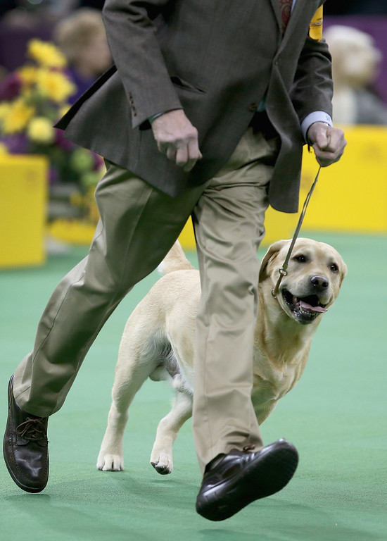 Description of . NEW YORK, NY - FEBRUARY 12:  A labrador runs during the Sporting Group competition at the 137th Westminster Kennel Club Dog Show on February 12, 2013 in New York City. Best of breed dogs competed for Best in Show at Madison Square Garden Tuesday night. A total of 2,721 dogs from 187 breeds and varieties competed in the event, hailed by organizers as the second oldest sporting competition in America, after the Kentucky Derby.  (Photo by John Moore/Getty Images)