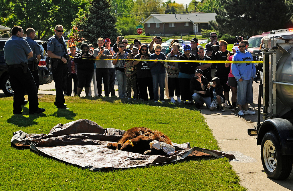 Description of . A crowd gathered to see a bear that was tranquilized after wandering around a suburban Denver neighborhood on Monday April, 30, 2012. The 300-pound bear was found in the 8300 block of Shoshone Street in the southwest corner of Pecos Street and West 84th Avenue. RJ Sangosti, The Denver Post