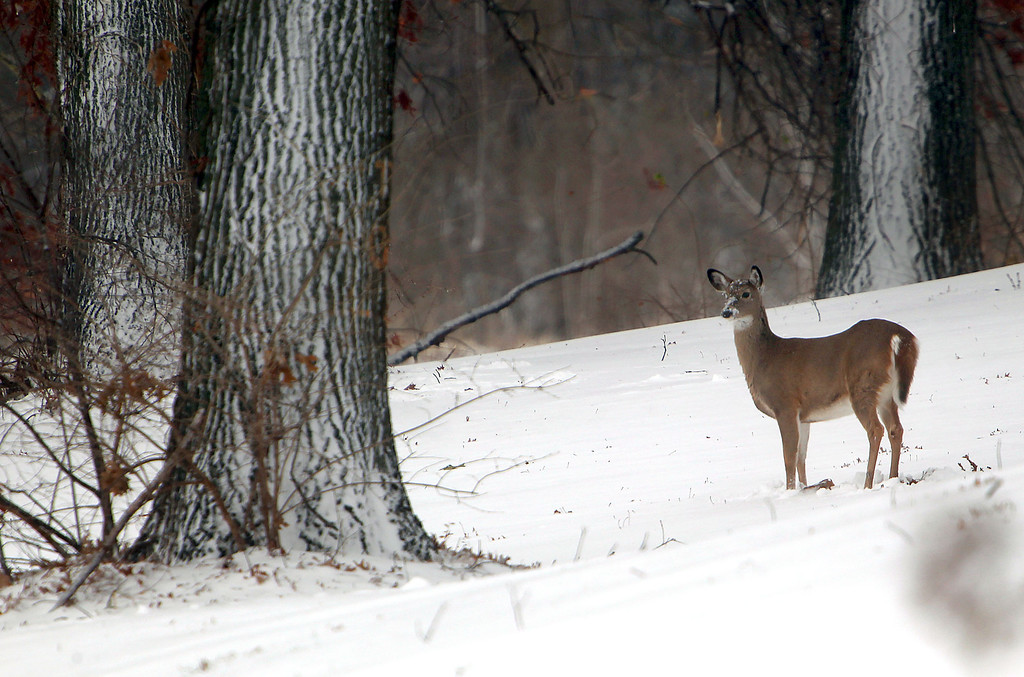 Description of . Sledders are usually seen on the hills of Hyde Park in St. Joseph, Mo. after a significant snowfall, but on Thursday, Dec. 20, 2012 only deer could be seen. (AP Photo/St. Joseph News-Press, Jessica A. Stewart)