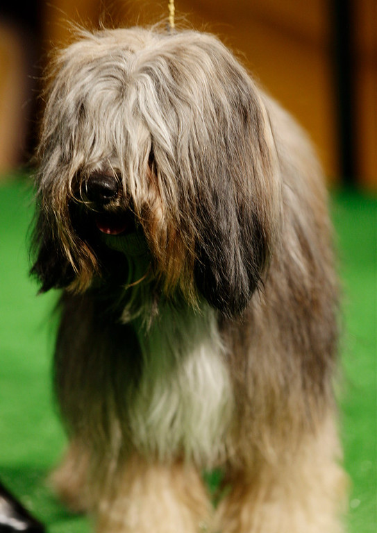 Description of . Keaton, a Tibetan terrier, is shown during a press conference to announce the 137th Annual Westminster Kennel Club dog show Thursday, Feb. 7, 2013, in New York. (AP Photo/Frank Franklin II)