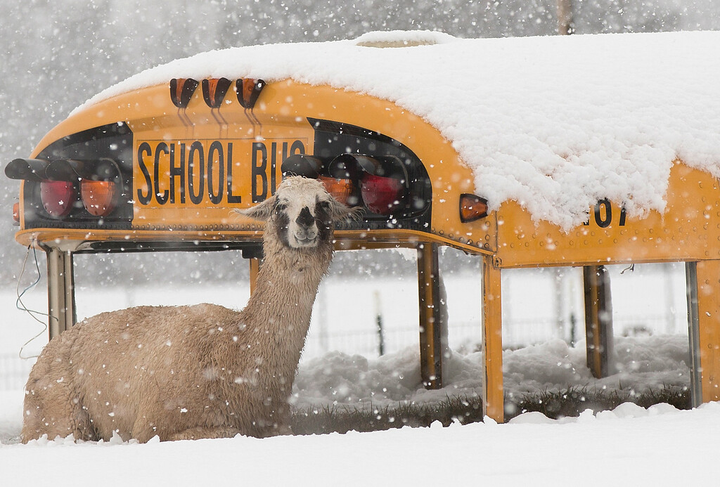 Description of . A llama seeks shelter next to an abandoned school bus at Cox Farms March 6, 2013 in Centreville, Virginia. A winter storm hit the Washington, DC area today with areas west of the city seeing signficant snowfall, but the city itself seeing minimal snow.  (Photo by Win McNamee/Getty Images)