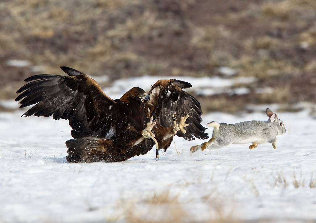 Description of . A tamed golden eagle attacks a rabbit during an annual hunting competition in Chengelsy Gorge, some 150 km (93 miles) east of Almaty February 23, 2013.  REUTERS/Shamil Zhumatov