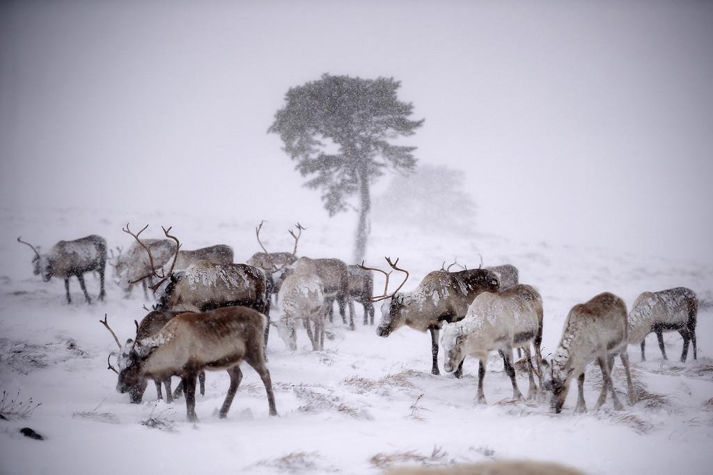 Description of . Reindeer from the Cairgorm Reindeer Herd walk through heavy snow on December 23, 2013 in Aviemore, Scotland.  (Photo by Jeff J Mitchell/Getty Images)