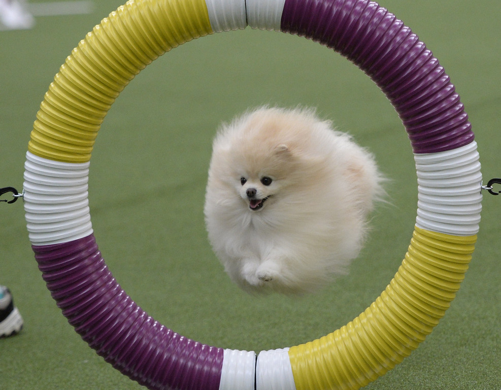 Description of . A Pomeranian in the Agility Ring during the first-ever Masters Agility Championship on February 7, 2014 in New York at the 138th Annual Westminster Kennel Club Dog Show. Dogs entered in the agility trial will be on hand to demonstrate skills required to negotiate some of the challenging obstacles that they will need to negotiate.      TIMOTHY A. CLARY/AFP/Getty Images