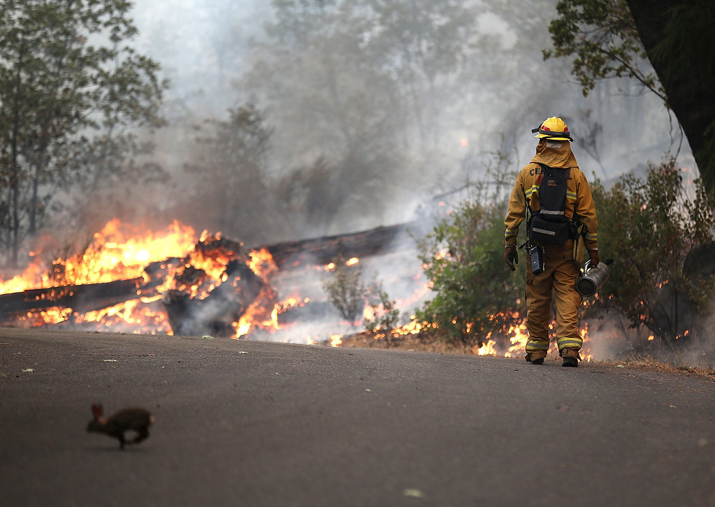 Description of . GROVELAND, CA - AUGUST 21:  A rabbit runs across the road as a firefighter from Ebbetts Pass Fire District monitors a back fire as he battles the Rim Fire on August 21, 2013 in Groveland, California. The Rim Fire continues to burn out of control and threatens 2,500 homes outside of Yosemite National Park. Over 400 firefighters are battling the blaze that is only 5 percent contained.  (Photo by Justin Sullivan/Getty Images)