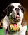 Aristocrat, a St. Bernard, is shown during a press conference to announce the 137th Annual Westminster Kennel Club dog show Thursday, Feb. 7, 2013, in New York. (AP Photo/Frank Franklin II)