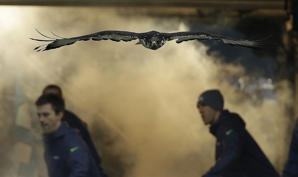 . An Augur Hawk named Taima flies before the NFL football NFC Championship game between the Seattle Seahawks and the San Francisco 49ers Sunday, Jan. 19, 2014, in Seattle. (AP Photo/Matt Slocum)