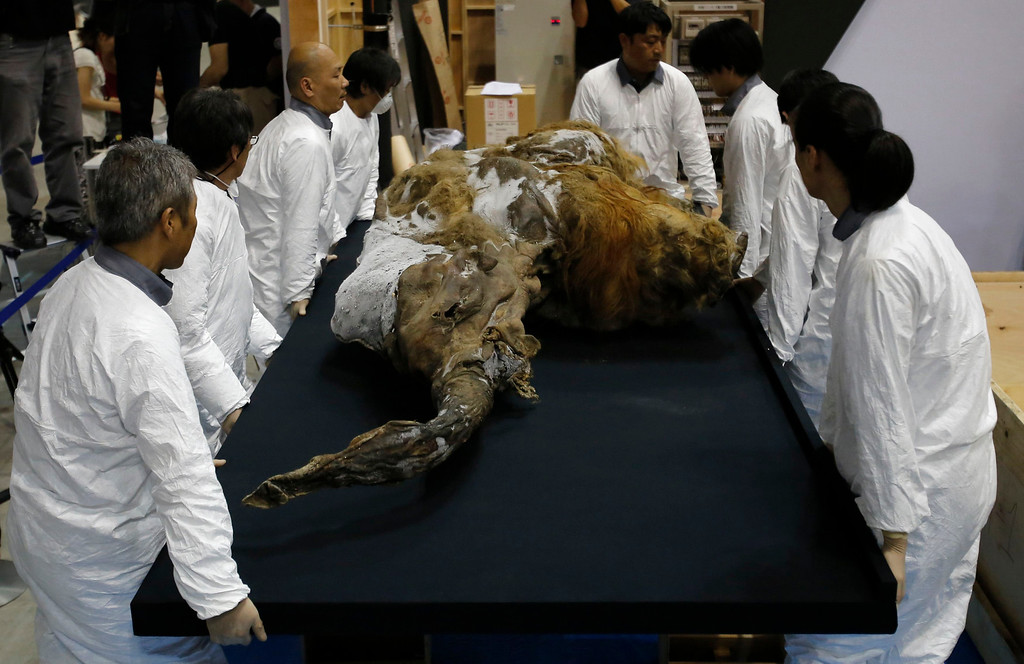 Description of . A 39,000-year-old female Woolly mammoth, which was found frozen in Siberia, Russia is carried by workers upon its arrival at an exhibition hall in Yokohama, south of Tokyo, July 9, 2013. The mammoth will be on display from July 13, 2013 till September 16, 2013.   REUTERS/Toru Hanai