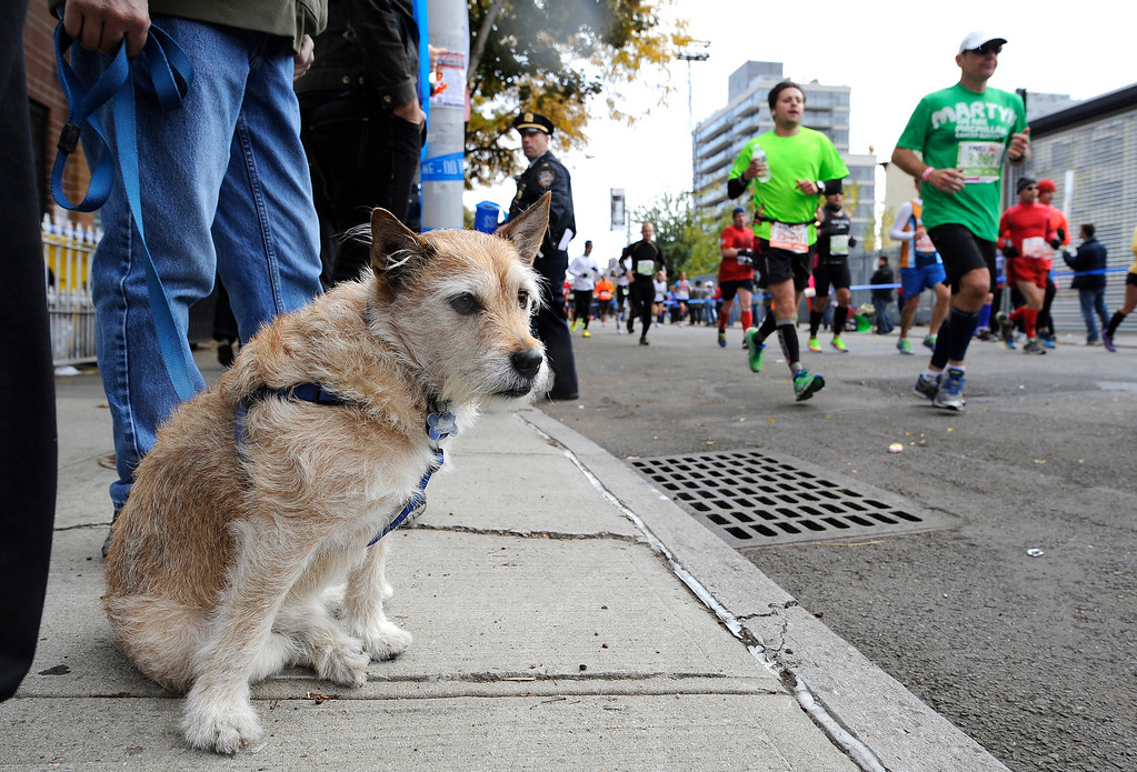 Description of . Baxter, a 3-year-old rescue dog owned by Jade Chin of Woodside, Queens awaits Ian Chin, Jade Chin's brother, who is a runner in the New York City Marathon, in the Queens borough of New York, on Sunday, Nov. 3, 2013. New York. (AP Photo/Kathy Kmonicek)