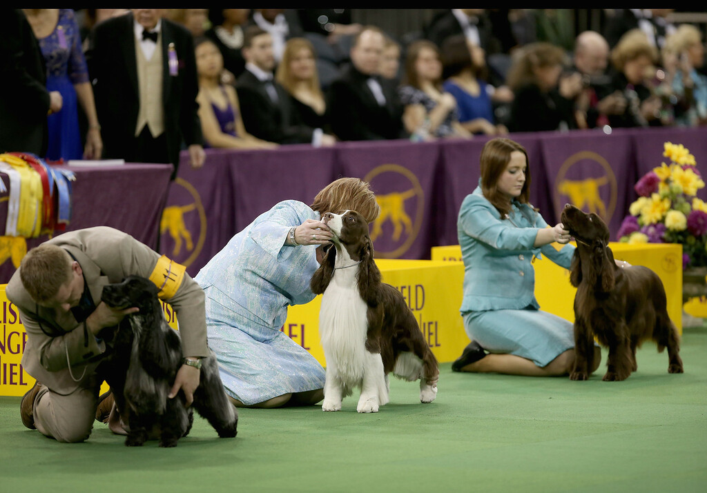 Description of . NEW YORK, NY - FEBRUARY 12:  Spaniels are prepared to compete in the Sporting Group competition at the 137th Westminster Kennel Club Dog Show on February 12, 2013 in New York City. Best of breed dogs competed for Best in Show at Madison Square Garden Tuesday night. A total of 2,721 dogs from 187 breeds and varieties competed in the event, hailed by organizers as the second oldest sporting competition in America, after the Kentucky Derby.  (Photo by John Moore/Getty Images)
