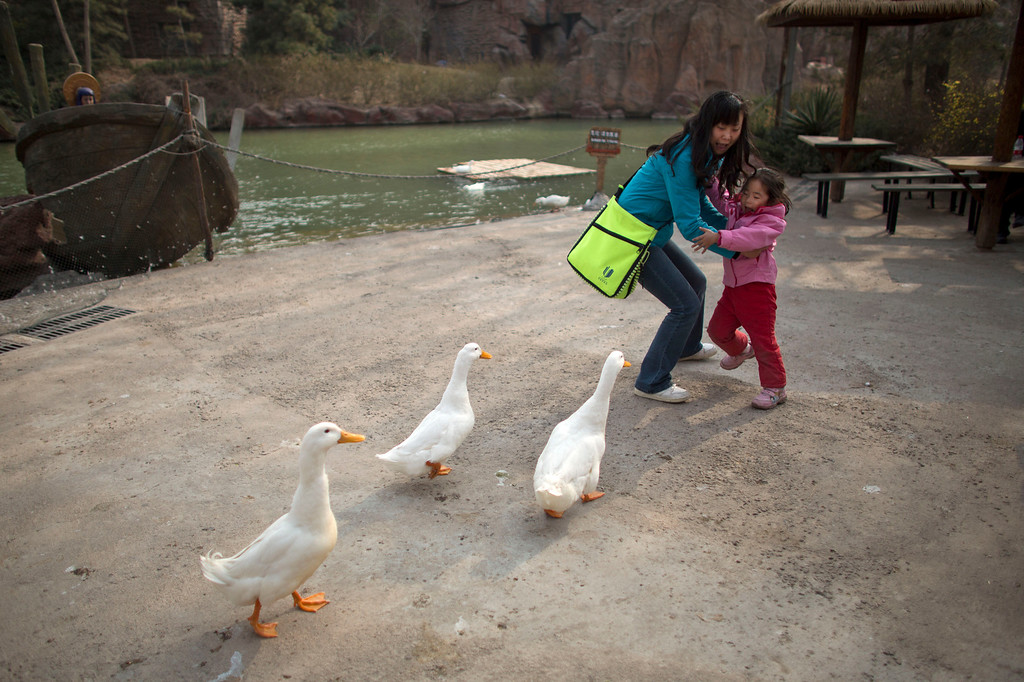 Description of . A woman and her daughter are frightened while ducks approach closely for food at an amusement park in Beijing, China, Wednesday, April 3, 2013. Scientists taking a first look at the genetics of the bird flu strain that recently killed two men in China said Wednesday the virus could be harder to track than its better-known cousin H5N1 because it might be able to spread silently among poultry without notice. The bird virus also seems to have adapted to be able to be able to sicken mammals like pigs. (AP Photo/Alexander F. Yuan)