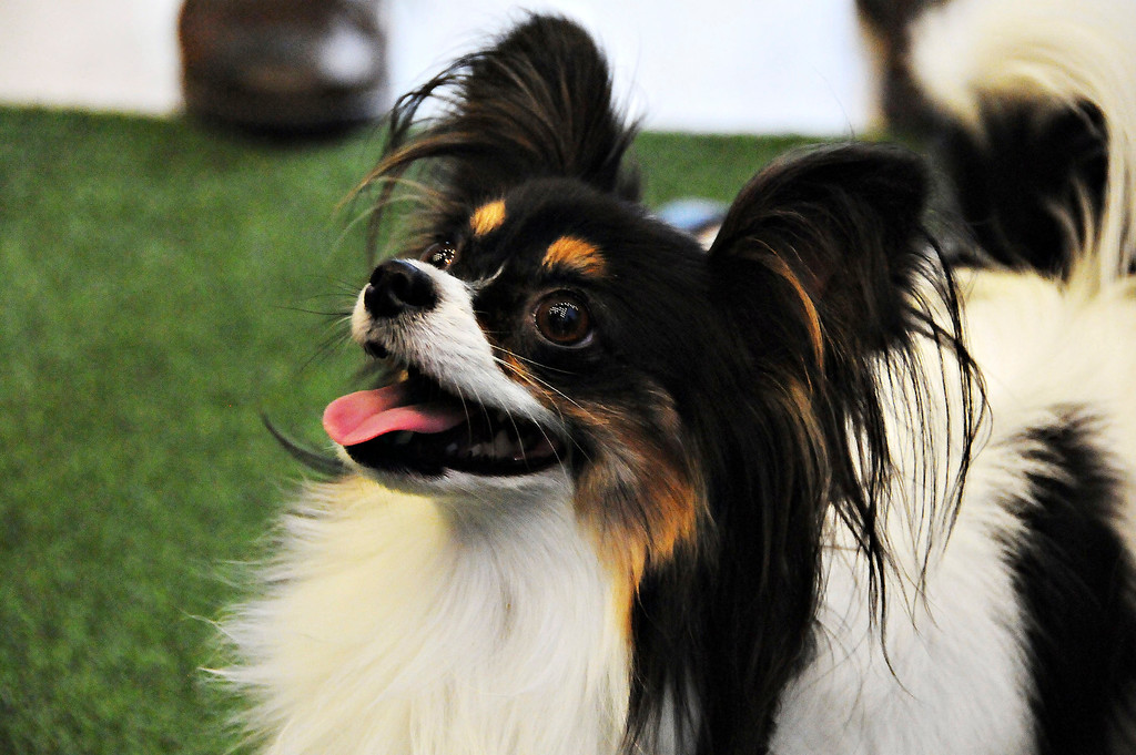 Description of . A papillon dog 'Carly' performs at the 138th Annual Westminster Kennel Club Dog Show press conference at Madison Square Garden on January 15, 2014 in New York City.  (Photo by Desiree Navarro/Getty Images)