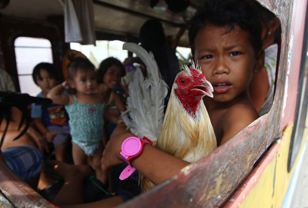 Description of . A boy holds a rooster as he and his family members who are affected by Typhoon Haiyan wait for his bus to leave the city in Tacloban, central Philippines, Wednesday, Nov. 13, 2013. Typhoon Haiyan, one of the strongest storms on record, slammed into six central Philippine islands on Friday leaving a wide swath of destruction. (AP Photo/Dita Alangkara)