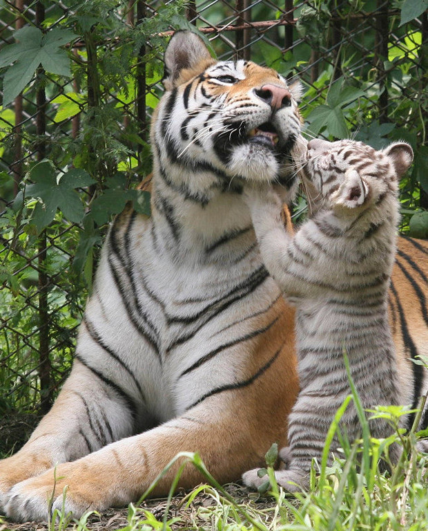 Description of . A Bengal tiger cub intimates with its mother at a wild zoo in Jinan, capital of east China's Shandong Province. Four two-month-old Bengal tiger cubs debut with their mother at the zoo on Monday. The eight-year-old Bengal tiger mother has given birth to 12 babies, nine of which are white tigers.   (AP Photo/Xinhua, Lu Chuanquan)
