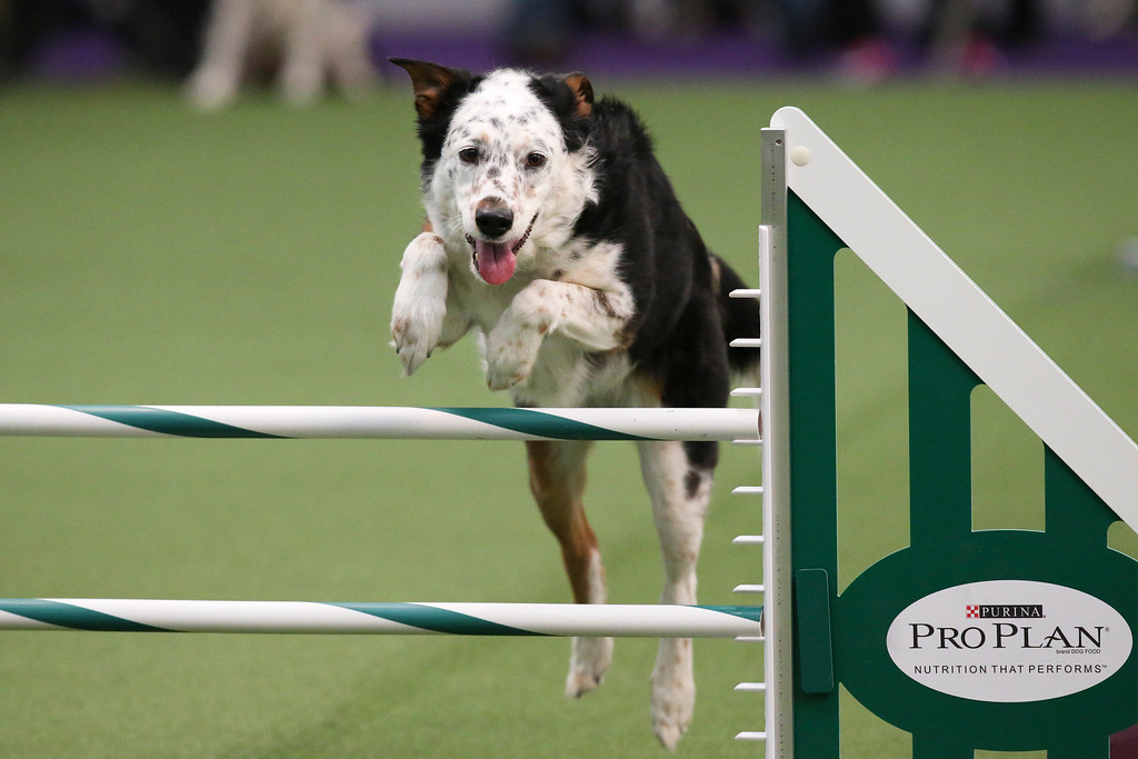 . Panda the All American Dog, otherwise known as mixed breed, takes a jump during the first annual Masters Agility Championship the Westminster Kennel Club staged at Pier 94, Saturday, Feb. 8, 2014, in New York. The competition marks the first time mixed-breed dogs have appeared at Westminster since early in the show?s 138 years. (AP Photo/John Minchillo)