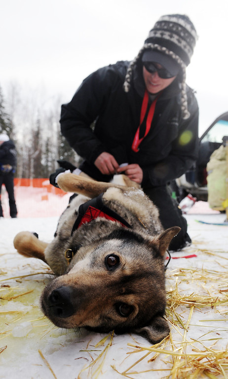 Description of . Katherine Keith puts booties on one of John Bakerís sled dogs before the Iditarod Trail Sled Dog Race, Sunday, March 3, 2013, in Willow, Alaska. 65 teams will be making their way through punishing wilderness toward the finish line in Nome on Alaska's western coast 1,000 miles away. (AP Photo/The Anchorage Daily News, Bob Hallinen)
