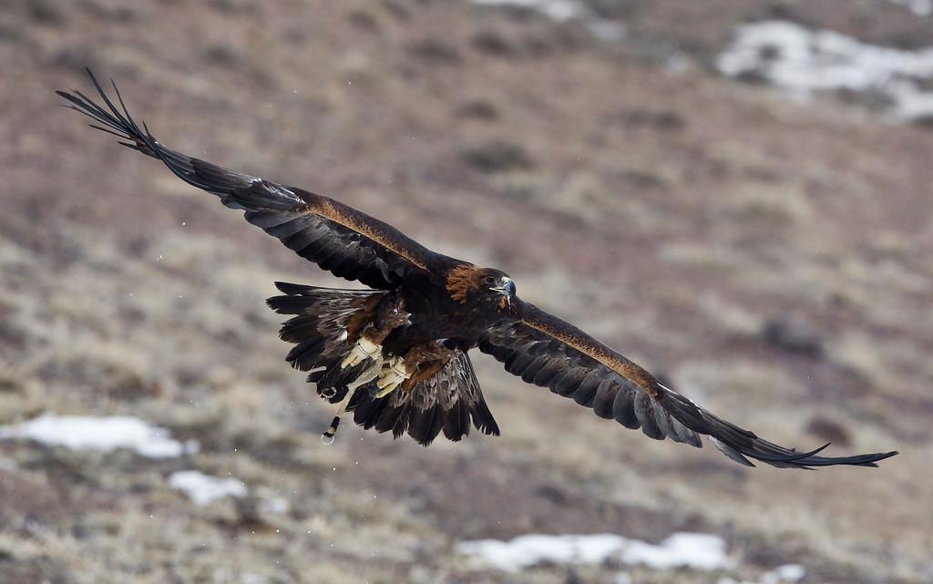 Description of . A tamed golden eagle soars during an annual hunting competition in Chengelsy Gorge, some 150 km (93 miles) east of Almaty February 22, 2013. Picture taken February 22, 2013.  REUTERS/Shamil Zhumatov