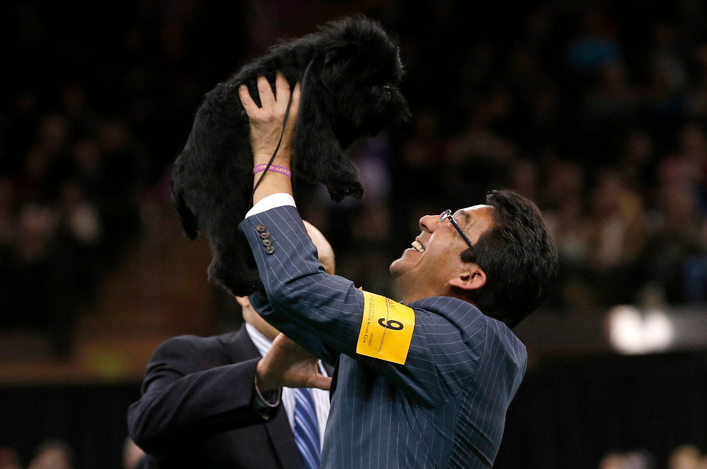 Description of . Handler Ernesto Lara holds up Banana Joe, an Affenpinscher, who won the Best in Show at the 137th Westminster Kennel Club Dog Show at Madison Square Garden in New York, February 12, 2013.   REUTERS/Mike Segar