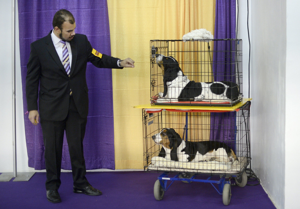 Description of . Handler Aaron Costilla with his Basset Hounds waits in the benching area at  Pier 92 and 94 in New York City for the first day of competition at the 138th Annual Westminster Kennel Club Dog Show February 10, 2014. The Westminster Kennel Club Dog Show is a two-day, all-breed show that takes place at both Pier 92 and 94 and at Madison Square Garden in New York City.   TIMOTHY CLARY/AFP/Getty Images