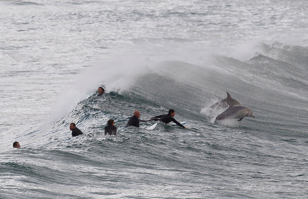 Description of . Surfers wait for waves as dolphins jump around at Bondi Beach in Sydney September 25, 2012. Dolphins are a common sight along Sydney's world famous beaches, as they venture close to shore in search of small fish. REUTERS/Daniel Munoz